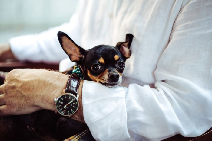 Cute chihuahua cuddling with its owner