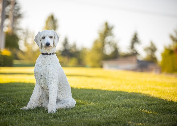 White standard poodle in a yard