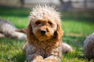 Cute poodle puppy staring at the camera