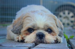 adorable sleepy Shih Tzu