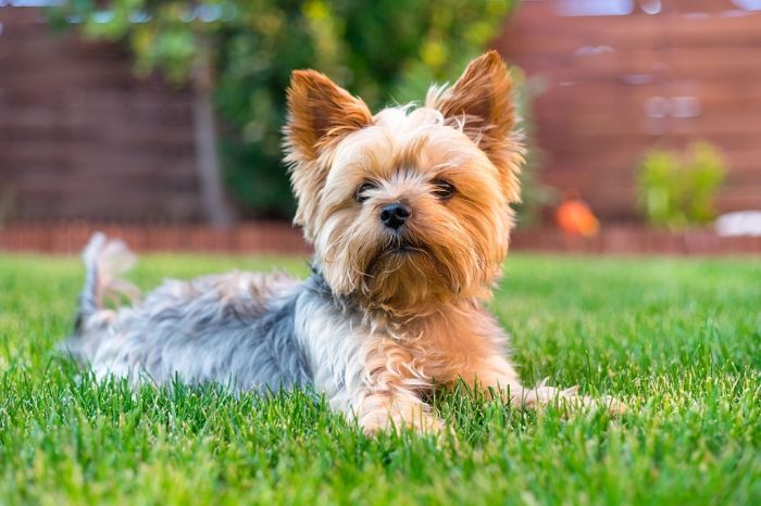 Cute Yorkie puppy in a lawn