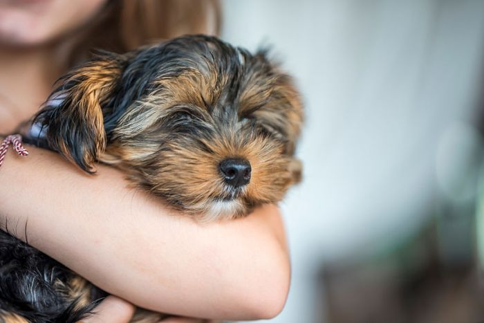 Yorkshire terrier dog cuddling with human