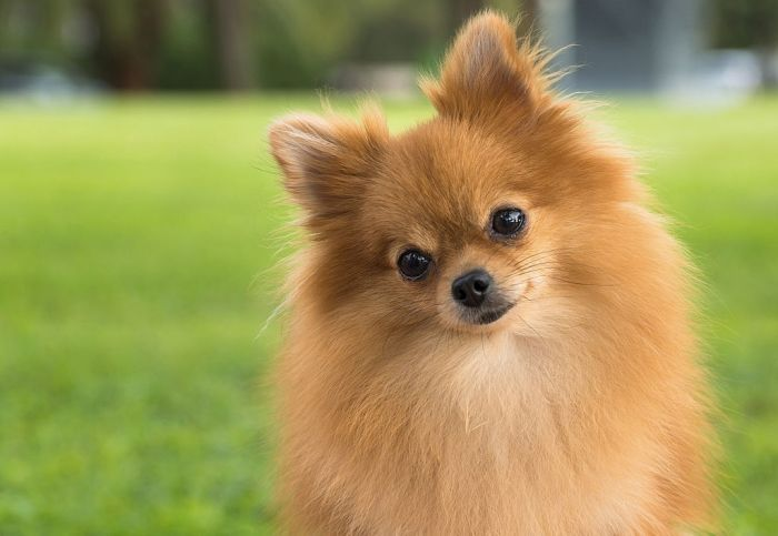 Adorable Pomeranian dog in grass