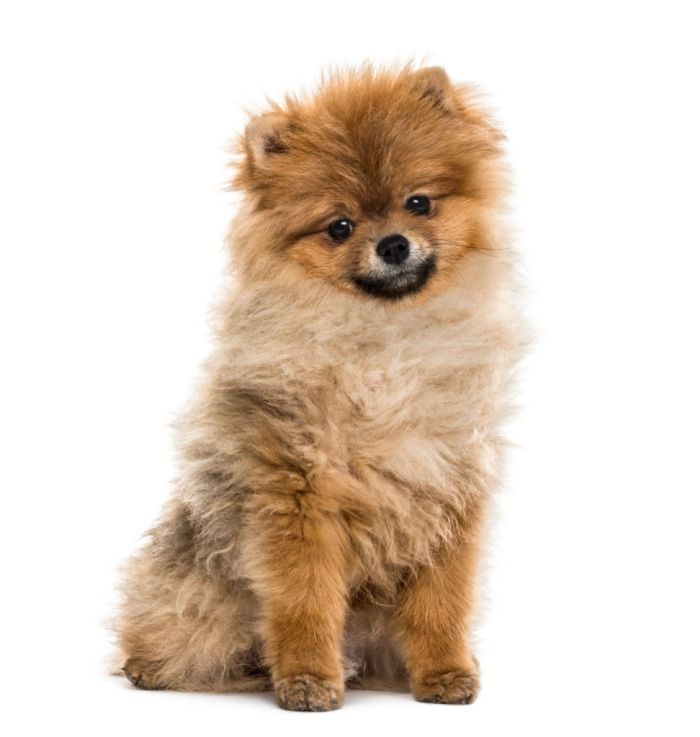 cute Pomeranian puppy sitting