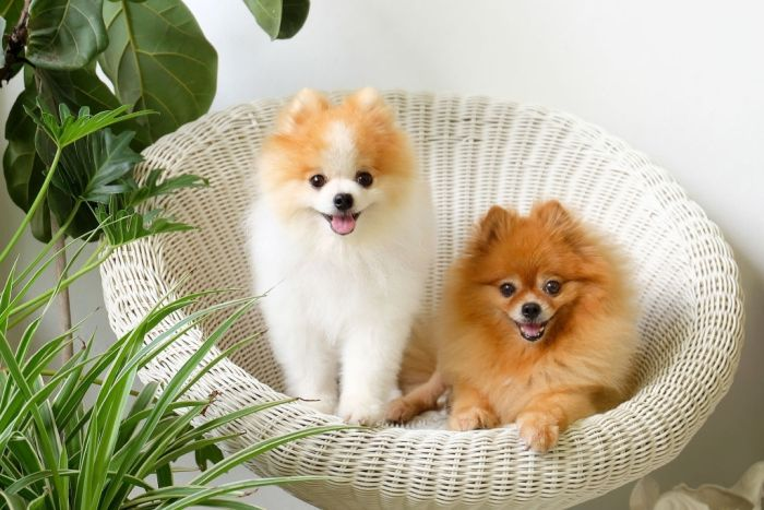 two Pomeranian dogs in white rattan chair