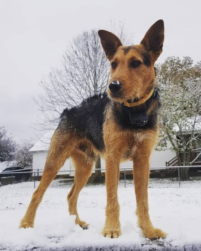 A young Airdale Shepherd mix standing in the snow.