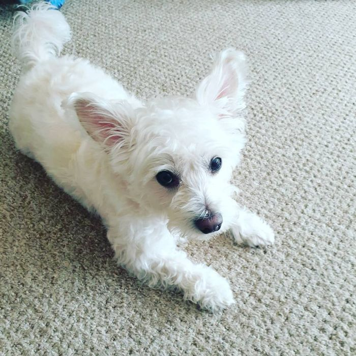 White terrier mix laying on the carpet