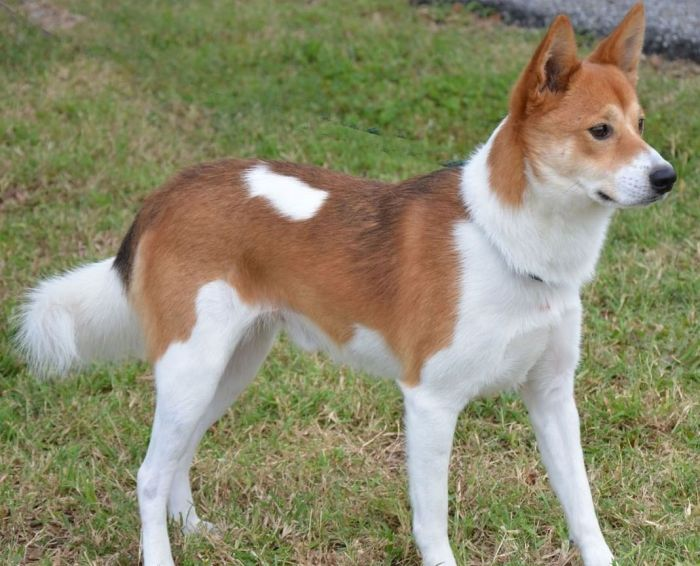 a graceful looking brown and white colored dog