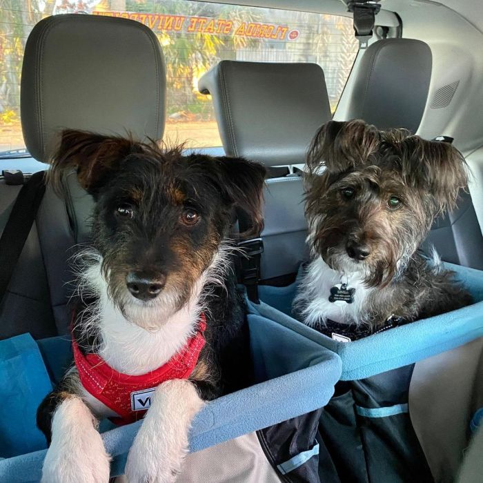 two basenji poodles in a car