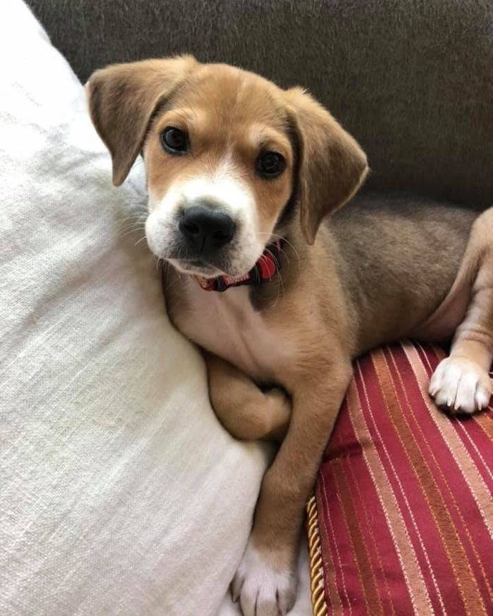 adorable beagle mix against a pillow