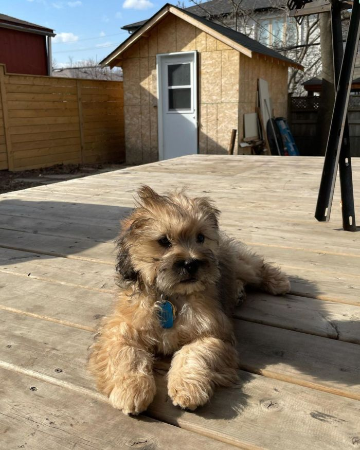 Fluffy dog lounging on the deck