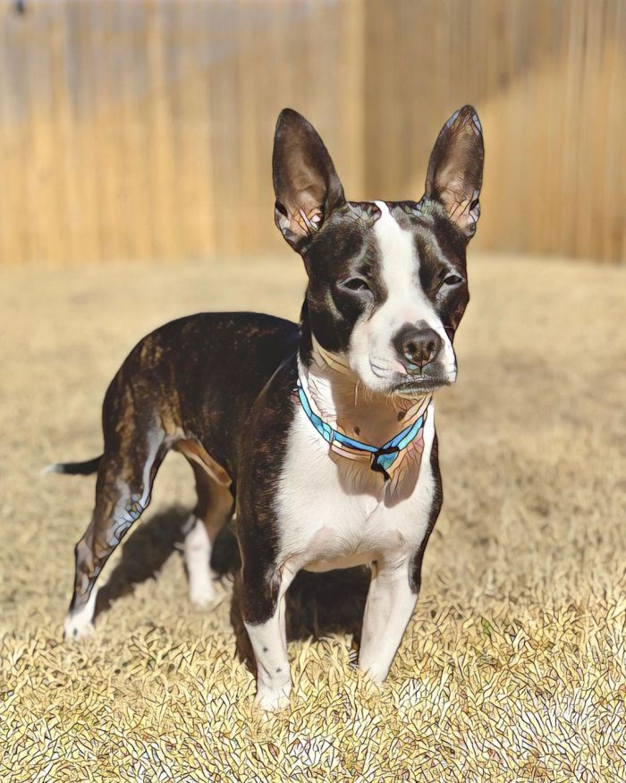 cute boston terrier doxie mix squinting
