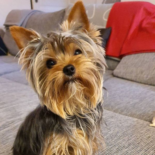 Cute Morkie looking at the camera