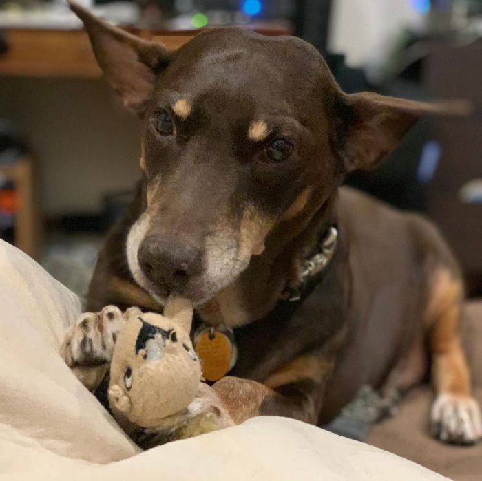 A brown puppy with this toy