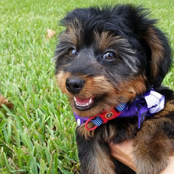 Dorkie puppy smiling at the camera