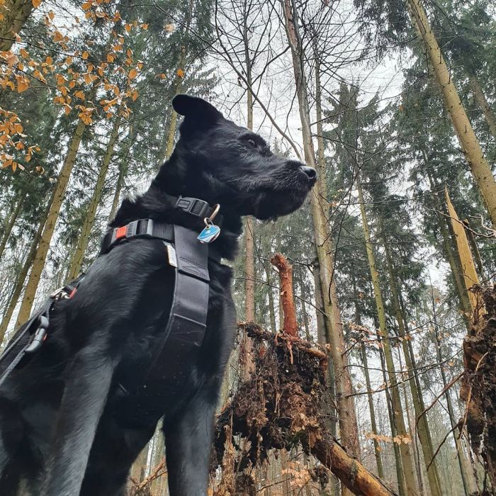 Black dog on a forested background