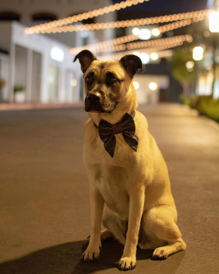 A well-behaved terrier mix wearing a bow