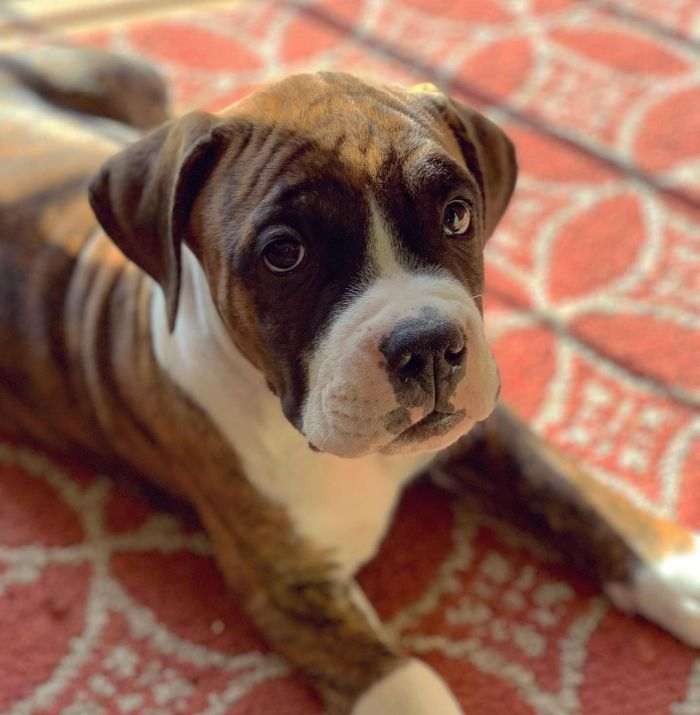 Cute Bullboxer mix puppy