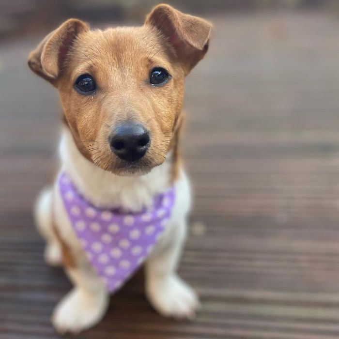Cute Jack Russell Terrier mix