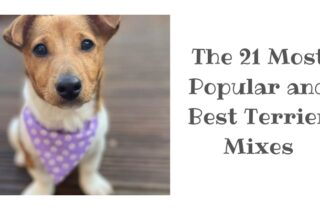 best terrier crossbreeds