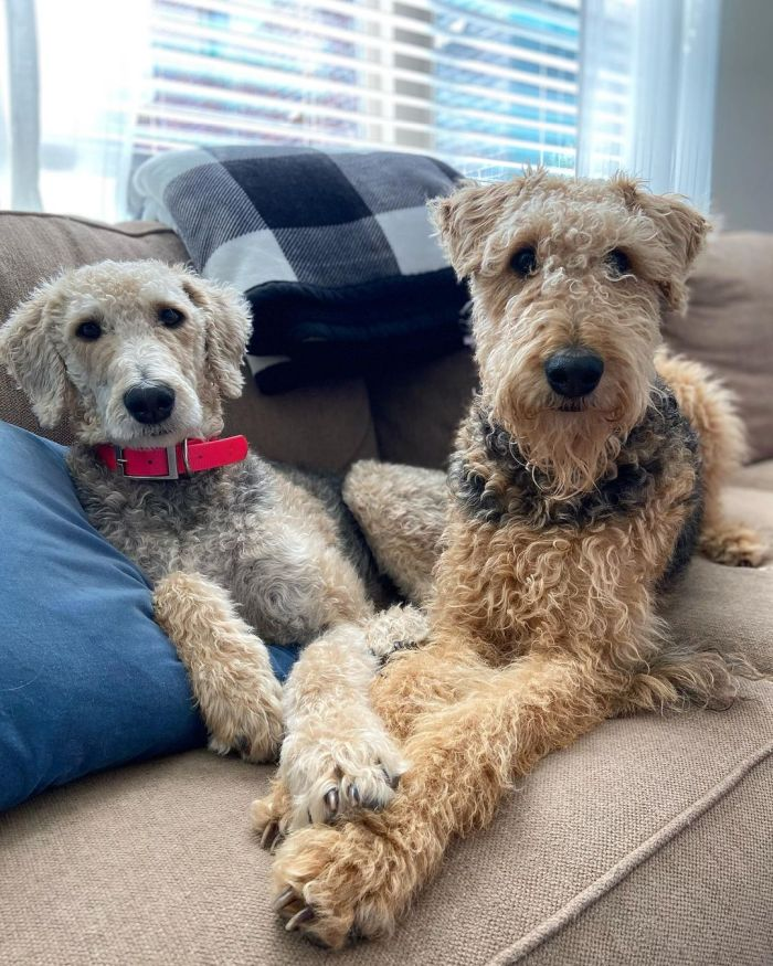 Two Poodle Terrier mix