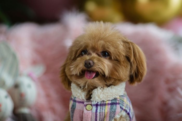 Mini Toy Teacup Poodle in clothes sitting at home