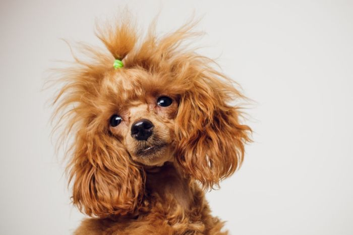Adorable Mini Toy Poodle with Golden Brown Fur