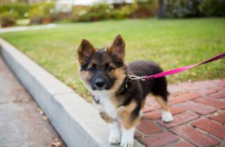 Corman Shepherd puppy excited for his walk